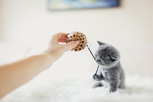 Tiny grey kitten in a playful mood