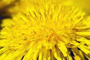 close up flowers  dandelions