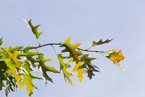 Leaves of an oak, the sky