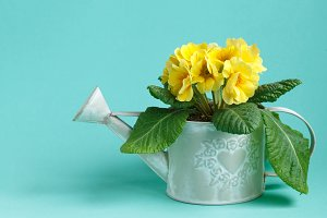 vintage watering can with yellow primrose on turquoise background
