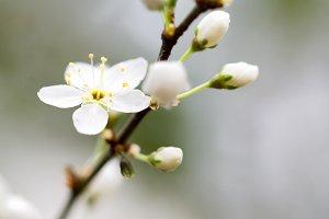 Fragile blossom
