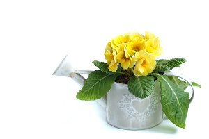 vintage watering can with yellow primrose isolated on white background