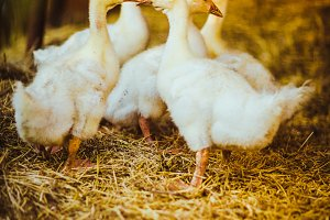 Five young goose together sit