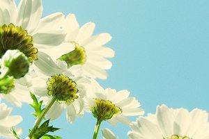 daisy flowers under blue sky