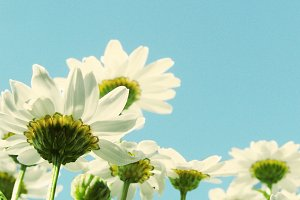 daisy flowers under blue sky