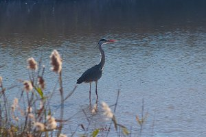 Heron in the reeds.