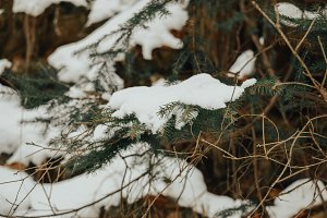 Pine branches covered with snow