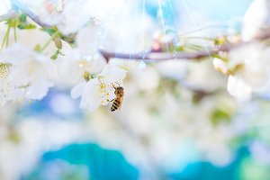 Spring, bee and flowering cherry