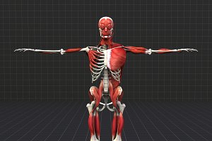 Human Muscle And Bone Structure