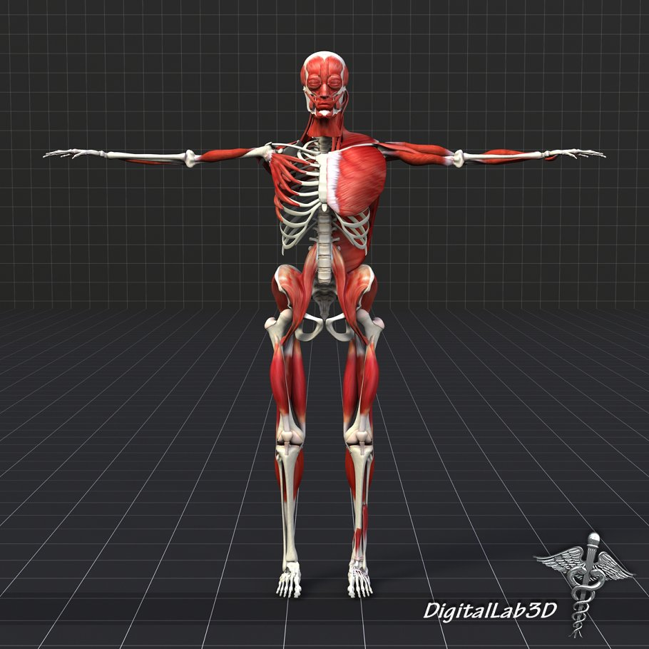 Human Muscle And Bone Structure 3d People Models Creative Market