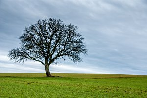 Lonesome tree / nature