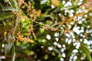 Flower mango Thailand