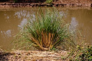 Vetiver Grass Edge of the pond