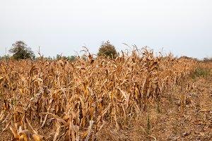 corn field before harvesting in Thai