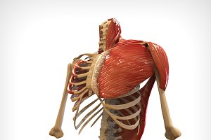 Upper Skeletal & Connecting Muscles