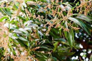 Flower of mango Thailand