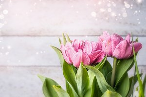 Pink tulips blooming