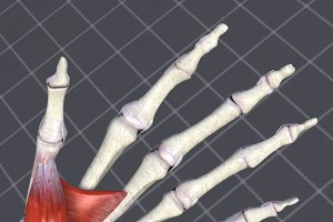 Human Hand Bone and Muscle Structure