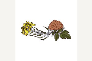 Isolated clipart Mustard