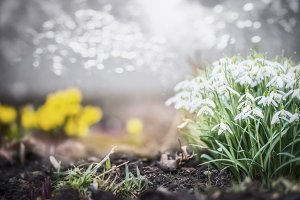 Spring with snowdrops flowers