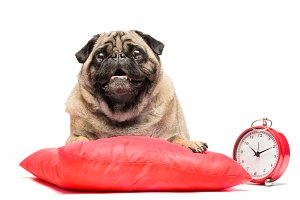 Pug dog laying on a red pillow