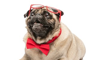 Cute pug dog in red bowtie and glass
