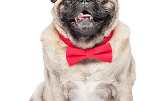 Happy fawn pug dog in red bowtie.
