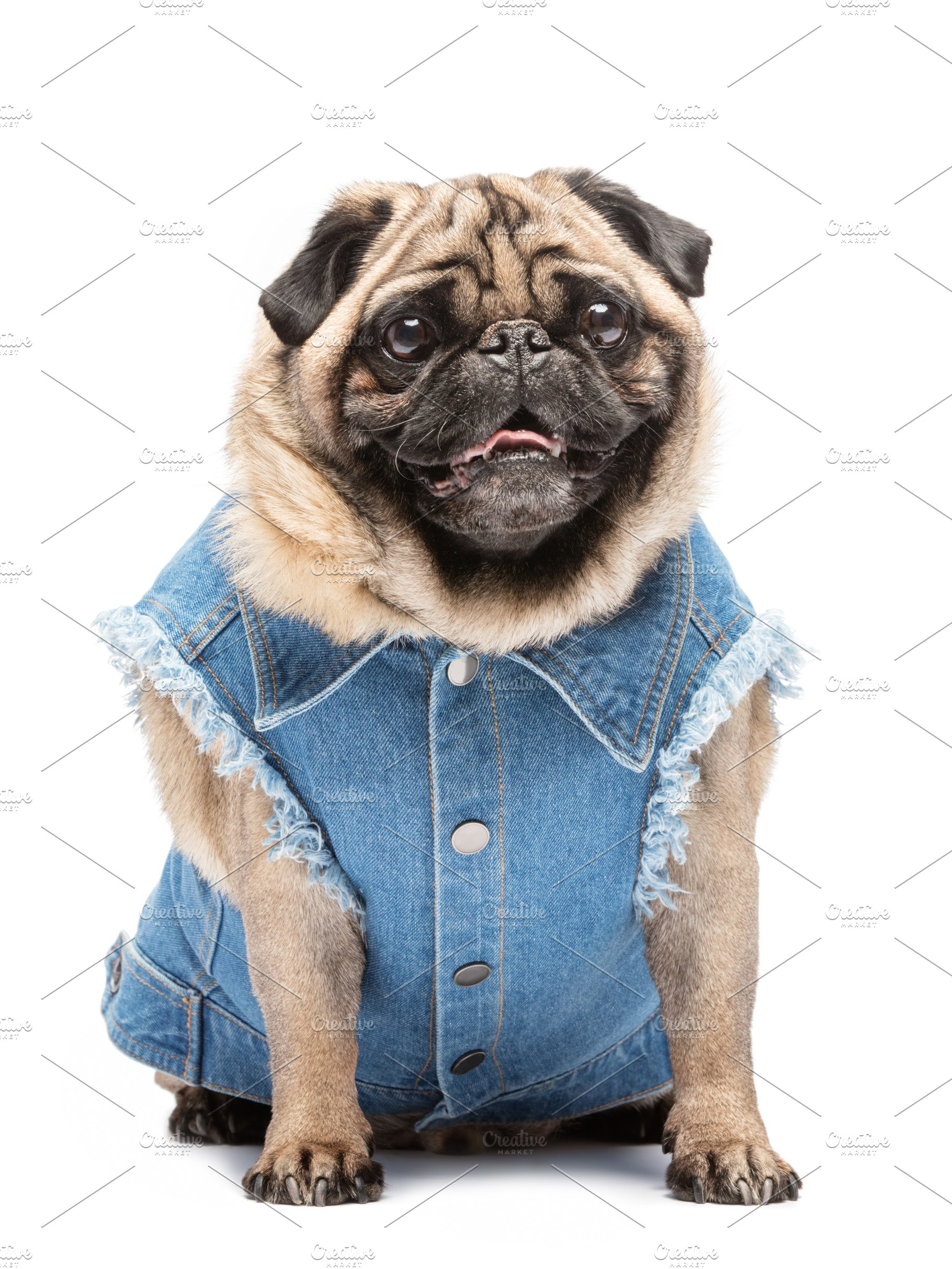 d578fa62 Smiling pug in fashionable vest. ~ Animal Photos ~ Creative Market