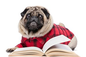 Fluffy pug dog laying by the book
