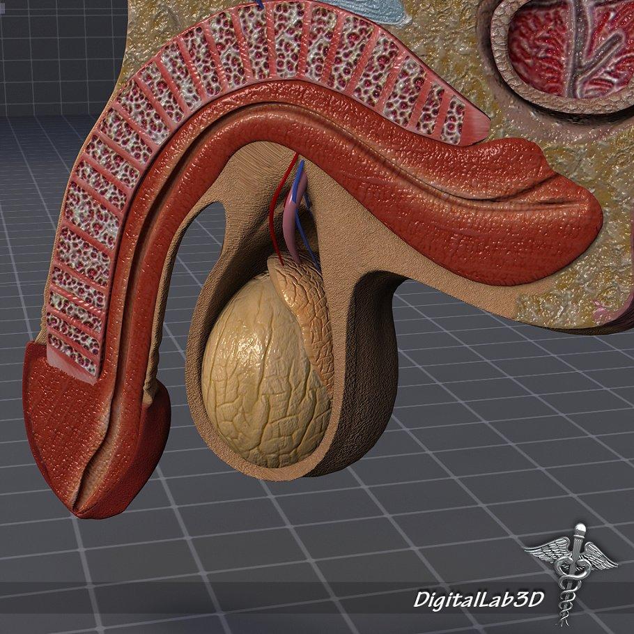 Human Male Genital Anatomy People Models Creative Market