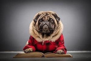 Fluffy pug dog laying on an old book