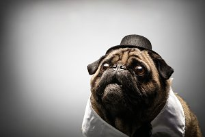 Curious pug dog in a black hat.