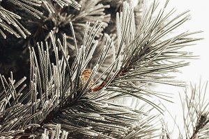 Frozen pine branch with cones