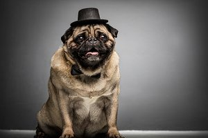 Sir pug dog in a cylinder and bowtie