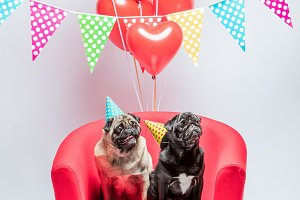Two pugs dogs with birthday decorati