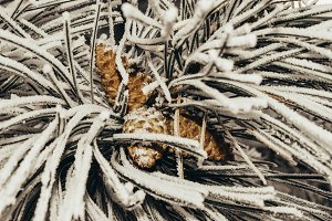 Frozen pine branch with pine cones