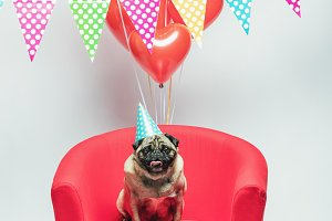 Birthday pug dog with baloons