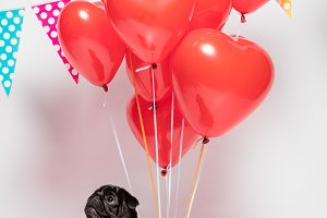 Black pug dog with red baloons