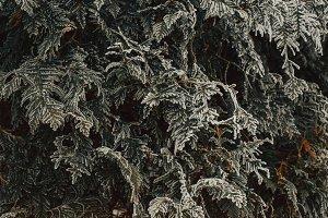 Frozen texture on fir tree