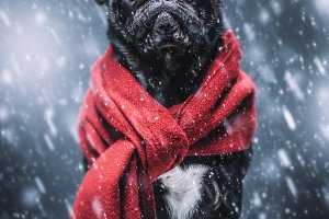 Winter black pug dog gazing sadly