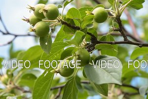 Apple-tree with unripe fruits