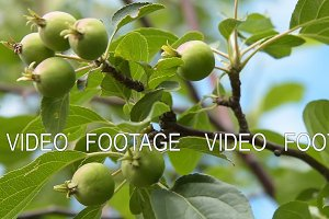Apple tree branch with unripe fruits