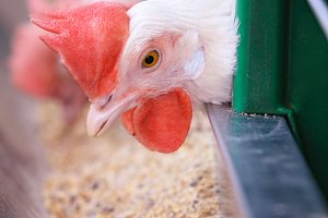 Close-up of the head of a purebred white chicken in a cage on the farm