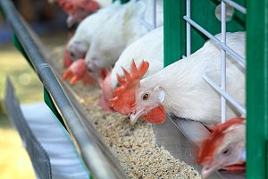 White chicken are contained in a poultry farm