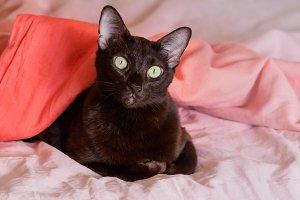 Portrait of the oriental breed cat