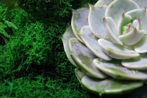 Succulent echeveria macro photo