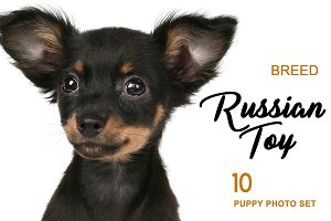 Russian Toy Puppy 10 Photo Set