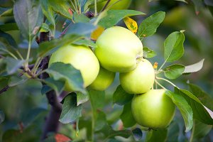 Apple tree, green apples on branches