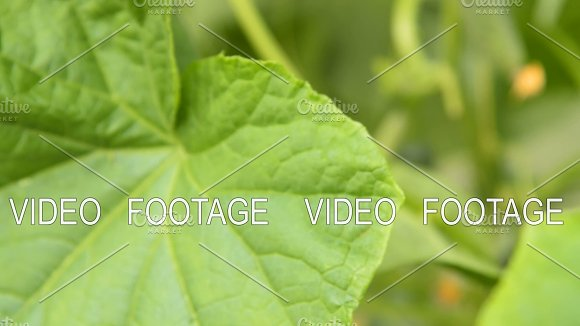 Cucumber Plant With Growing Vegetables