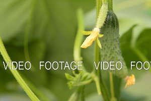 Growing cucumber plant with vegetables